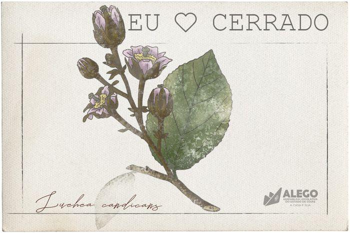 """Série """"Eu amo o Cerrado"""" mostra as propriedades da árvore açoita-cavalo"""